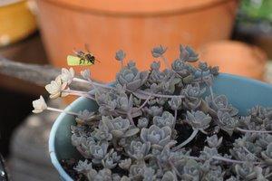 L'abeille s'approche du pot de plantes