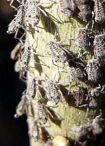 Insectes suceurs de sève