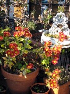 Chrisanthèmes sur la terrasse