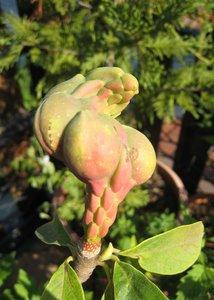 Fruits du magnolia