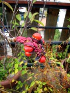 Fruit du magnolia, suite