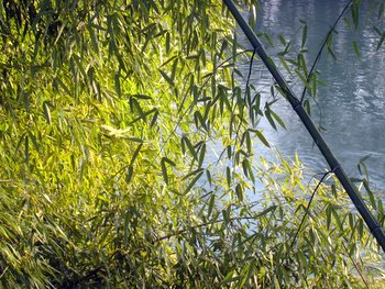 Bambous le long de l'Isère