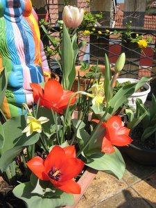 Tulipes et petits narcisses