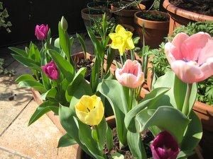 Tulipes et narcisse