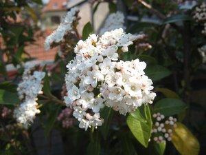 Viorne en fleurs